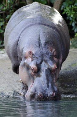Wildlife and Animals - Hippopotamus