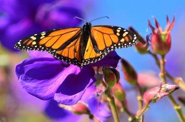 Wildlife and Animals - Butterflies