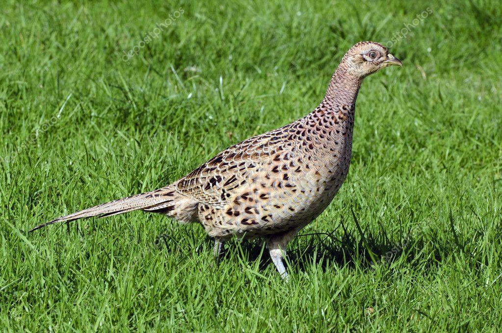 Wildlife Photos - Common Hen Pheasant
