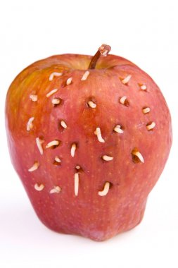 Maggots come out from rotten apple
