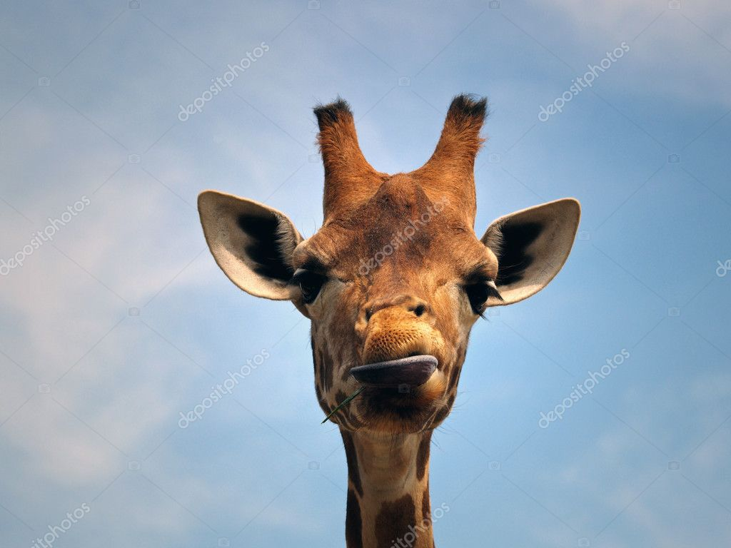 Giraffe with a funny expression