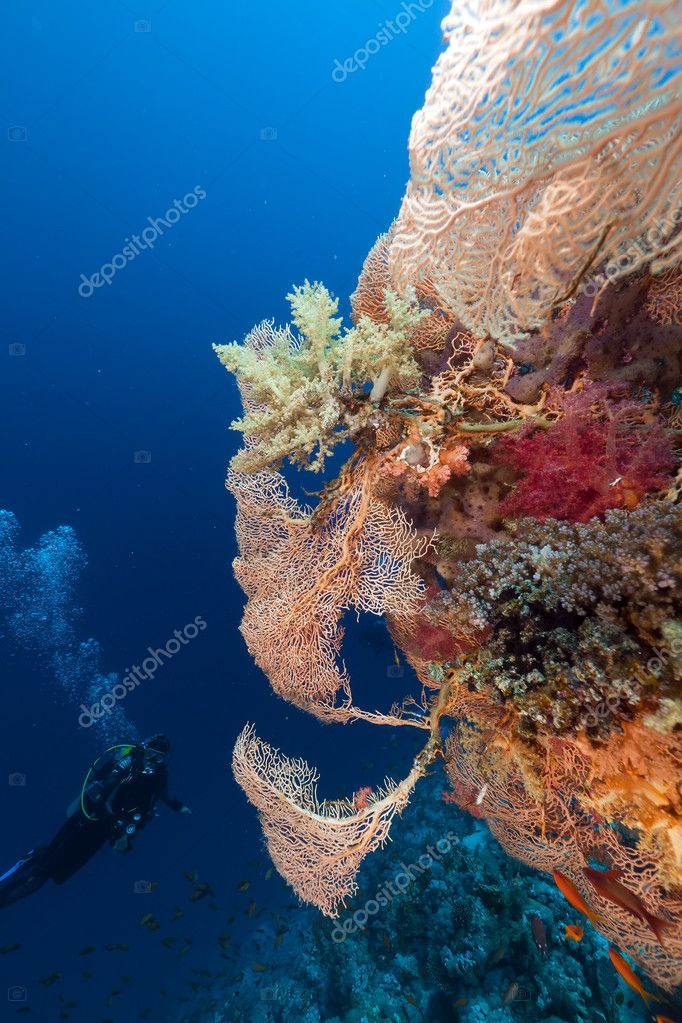 Diver and giant sea fan in the Red Sea.