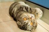 Fényképek aranyos macska