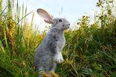 Fotografie vorsichtige Hase