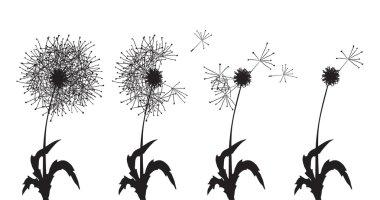 several dandelions