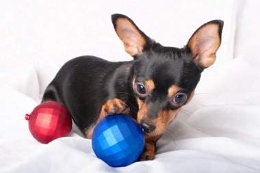 Funny Toy Terrier with Christmas decoration