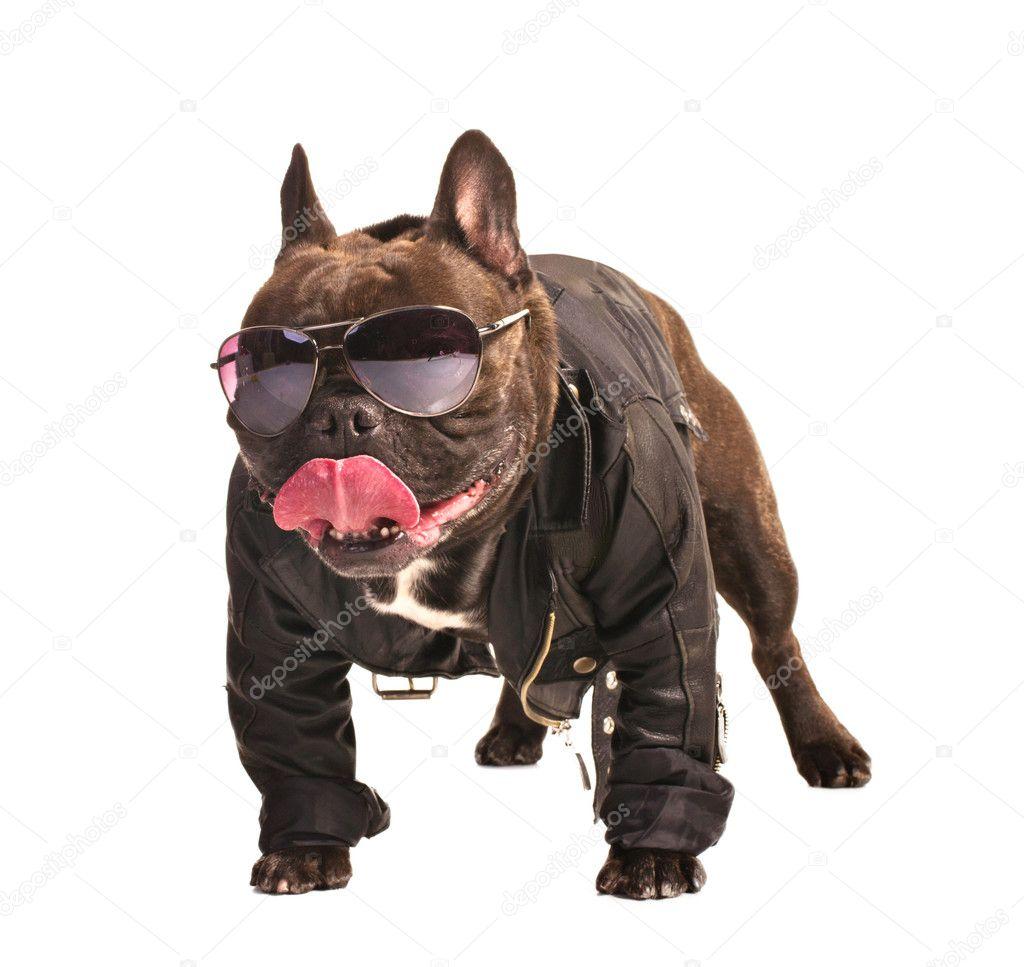 French bulldog biker