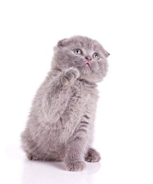 Little kitten gray british