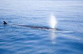 foukání velryba!