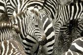 Stádo zeber na masai mara, Keňa