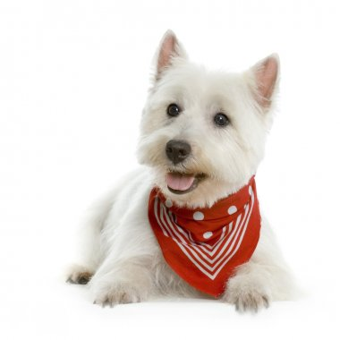 West Highland Terrier White lying in front of white background with a red scarf