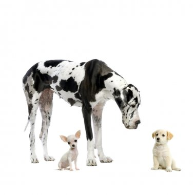 Great Dane HARLEQUIN , puppy Labrador and puppy Chihuahua looking at each other in front of a white background