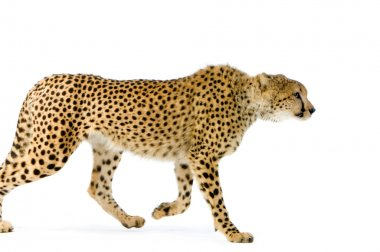 Studio Shots of Cheetah Walking in front on a white background. All my pictures are taken in a photo studio stock vector