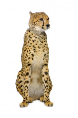 Studio Shots of Cheetah sitting in front on a white background. All my pictures are taken in a photo studio stock vector