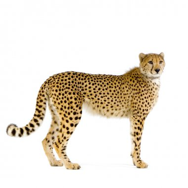 Studio Shots of Cheetah standing up in front on a white background. All my pictures are taken in a photo studio stock vector
