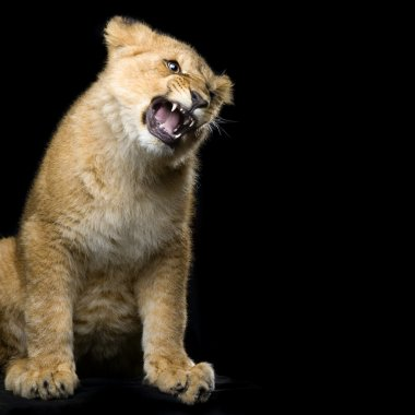 Studio Shots of Lion Cub (seven months) sitting in front of a black background. All my pictures are taken in a photo studio. stock vector