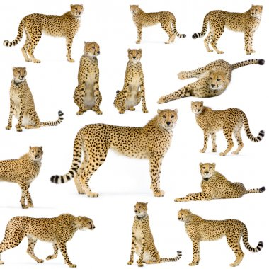 14 studio Shots of Cheetahs in different position, isolated on a white background. All my pictures are taken in a photo studio stock vector