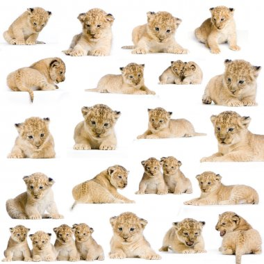 20 studio Shots of Lion Cubs in different positions, isolated on a white background. All my pictures are taken in a photo studio. stock vector