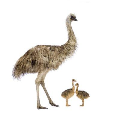 Emu and her chicks