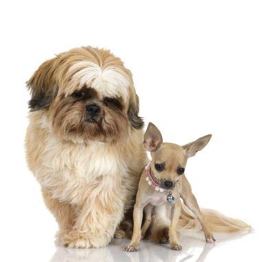 Chihuahua and Shih Tzu