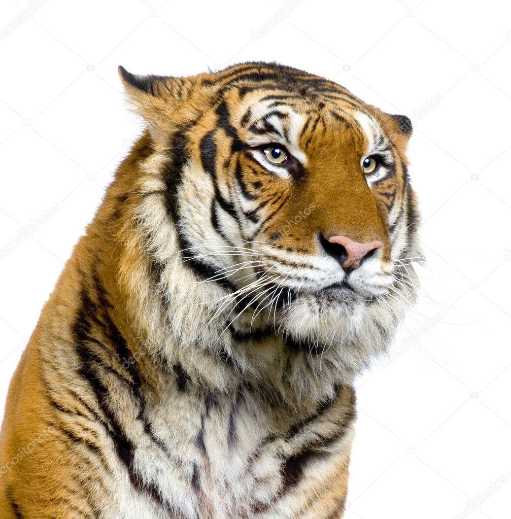 tiger s face stock photo lifeonwhite 10863277