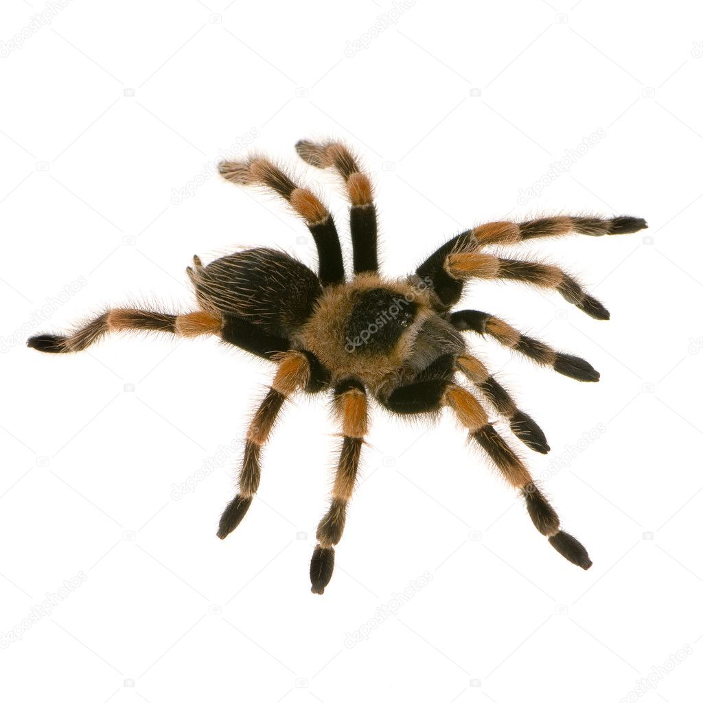 Mexican Redknee Tarantula In Front Of A White Backgroung Photo By