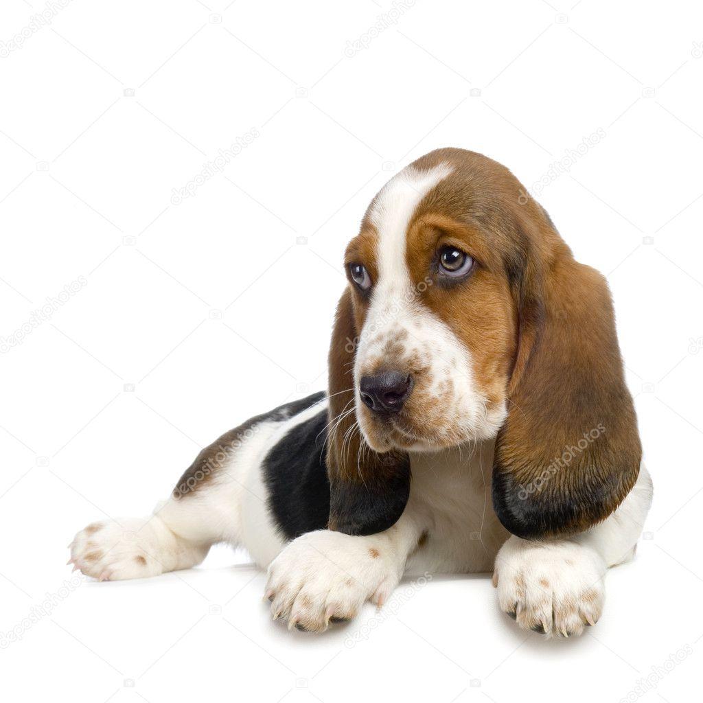 basset hound welpen hush puppies stockfoto lifeonwhite 10863794. Black Bedroom Furniture Sets. Home Design Ideas