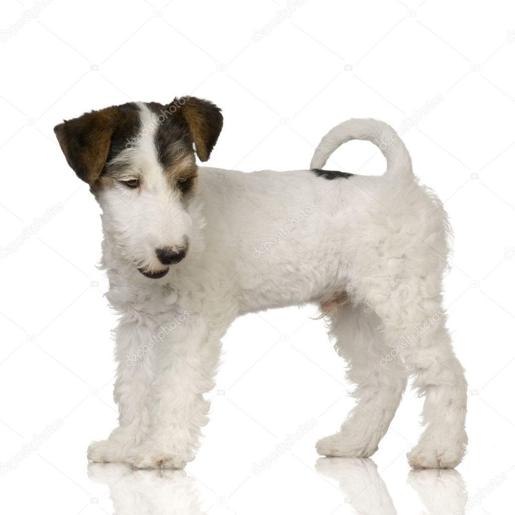 Fox terrier — Stock Photo © lifeonwhite #10866109