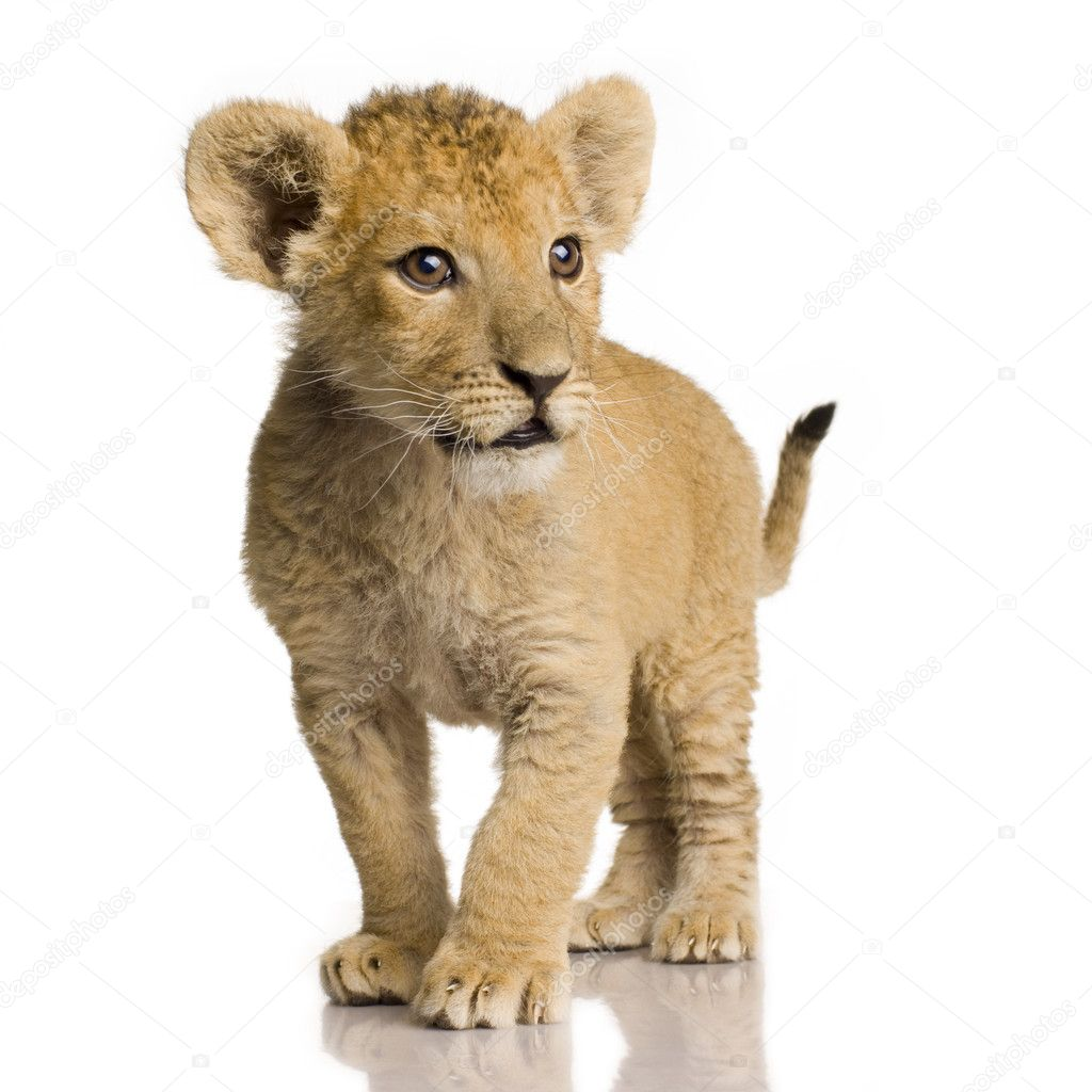 lion cub 3 months stock photo lifeonwhite 10868773