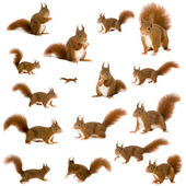 Fotografie Eurasian red squirrel - Sciurus vulgaris (2 years) in front of a white background