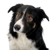 Fotografie Close-up on a Border Collie (2,5 years)