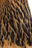 Fotografie detail hnědé brahma slepičí peří
