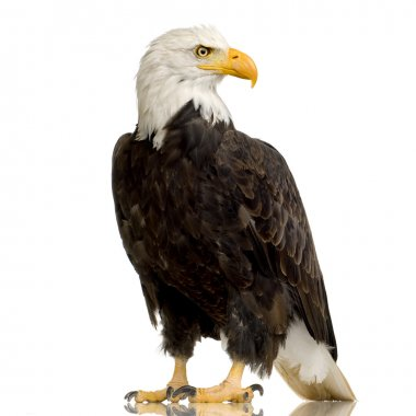 "Картина, постер, плакат, фотообои ""лысый орел (22 года) - haliaeetus leucocephalus "", артикул 10870384"