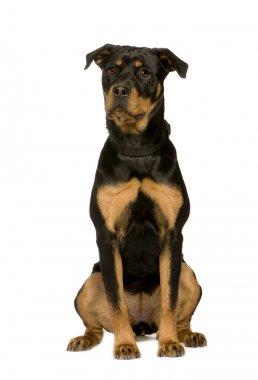 Rottweiler (7 months)
