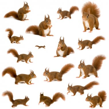 Eurasian red squirrel - Sciurus vulgaris (2 years) in front of a white background stock vector