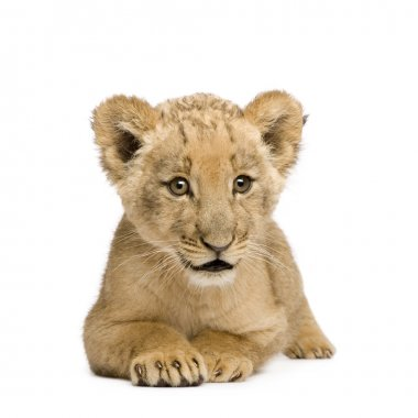 Lion Cub (8 weeks)