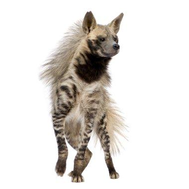 Striped Hyena - Hyaena hyaena