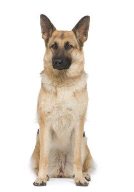 German shepherd (2 years)