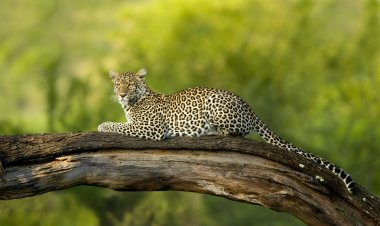Leopard in the serengeti national reserve