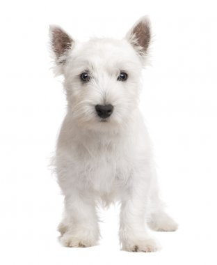 West Highland White Terrier (3 months)