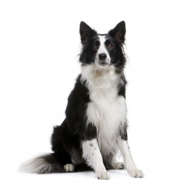 Border Collie (4 years)