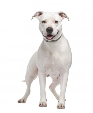 American Staffordshire terrier (4 years) in front of a white background