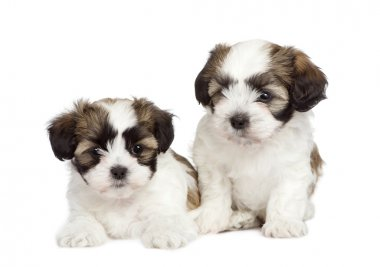 Puppy mixed-Breed Dog between Shih Tzu and maltese dog (7 weeks)
