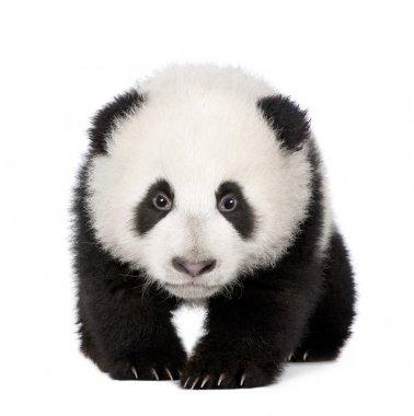 "Картина, постер, плакат, фотообои ""гигантская панда (4 месяца) - ailuropoda melanoleuca"", артикул 10877716"