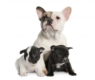 Mother French Bulldog and her puppies (1 year old and 8 weeks ol