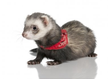 Young ferret wearing a red scarf - Mustela putorius furo