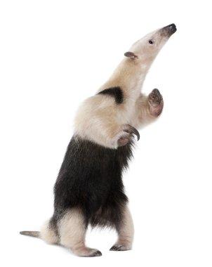 Collared Anteater standing on hind legs, Tamandua tetradactyla,