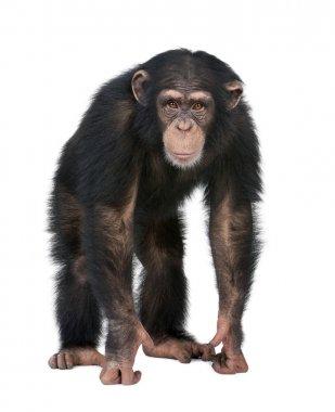 Young Chimpanzee looking at the camera - Simia troglodytes (5 ye