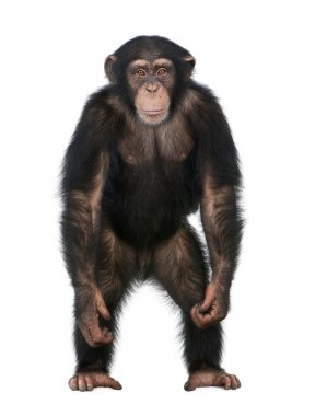 Young Chimpanzee standing up like a human - Simia troglodytes (5