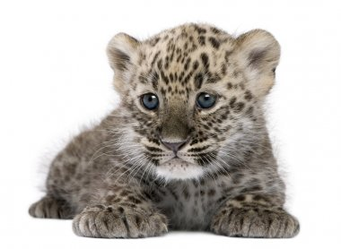 Persian leopard Cub (6 weeks)
